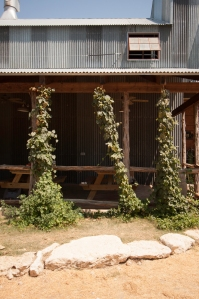 Hop Vines at Jester King Brewery (photo by Rasy Ran
